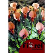 Κάλλα Πορτοκαλί 14/ Fiorel Ολλανδίας σε Φάκελο