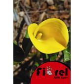 Κάλλα Κίτρινη 14/ Fiorel Ολλανδίας σε Φάκελο
